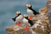 ©JERoss_Horned Puffins